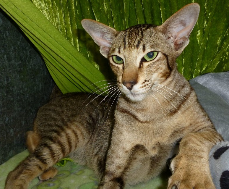 Tiffyan Cats - Siamese and Oriental Cat Breeder ...