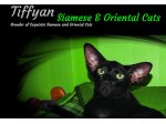 Tiffyan Cats - Siamese and Oriental Cat Breeder - Launceston, TAS