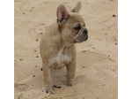 Frenchbell Kennels - Daschund and French Bulldog Breeder - Melbourne, VIC