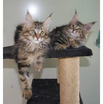 Ghostgum Cattery - Maine Coon Cat Breeder - Queensland