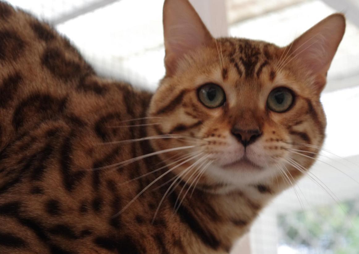 Cat Empire Bengals - Bengal Cat Breeder - Sunshine Coast, Queensland