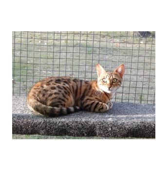 Bengal cat breeders queensland australia