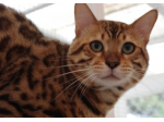 Cat Empire Bengals - Bengal Cat Breeder - Sunshine Coast, Queensland