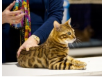 Aussieposhpaws Bengals - Bengal Cat Breeder - Brisbane, Queensland