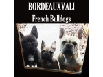 BordeauxVali Kennels - Chihuahua (smooth coat) & French Bulldog Breeder - Adelaide, SA