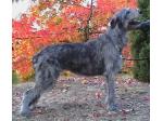 Tirowen Kennels - Irish Wolfhound Breeder - Adelaide