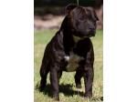 Slavestaff Kennels - Staffordshire Bull Terrier Breeder - Rockhampton, QLD