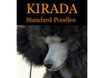Kirada Kennel - Standard Poodle Breeder - Adelaide, SA