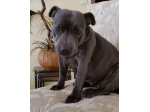 Blueclipse Kennel - Staffordshire Bull Terrier Breeder - Adelaide, SA