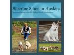 Sibertac Kennel - Siberian Husky Breeder - Adelaide, SA