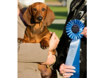 Boskahun Kennel - Dachshund Standard Smooth Breeder - Adelaide, SA