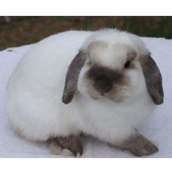 jive bunnies mini lop rabbit breeder sydney. Black Bedroom Furniture Sets. Home Design Ideas