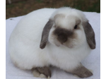 Jive Bunnies - Mini Lop Rabbit Breeder - Sydney