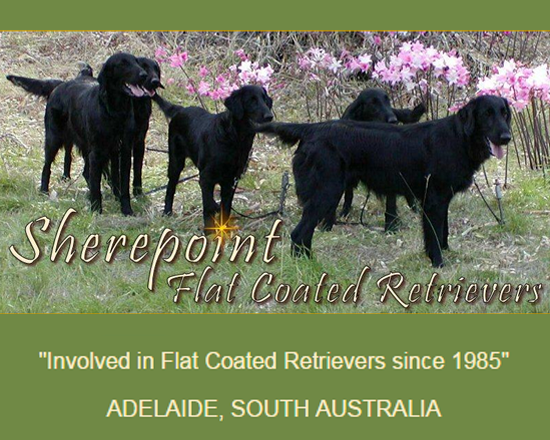 Sherepoint Flat Coated Retrievers