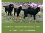 Sherepoint Kennel - Flat-Coated Retriever Breeder - Williamstown, SA