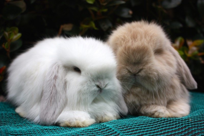 Cashmere Rabbit brothers  gallery image
