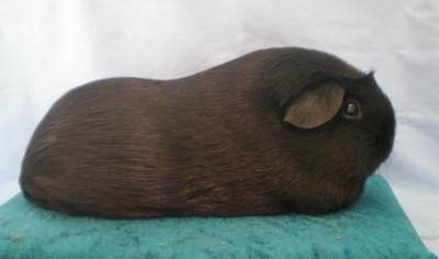 Champion Malibu Princess Torianna - Black Crested  gallery image