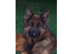Eternbur Kennel - German Shepherd Breeder - Sale Victoria