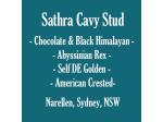 Sathra Stud - Guinea Pig Breeder - Sydney