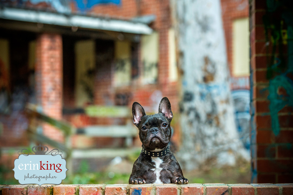 Frenchie Pet Photography gallery image