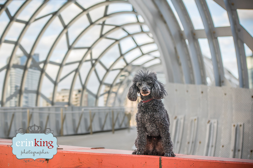 Poodle Pet Photography gallery image