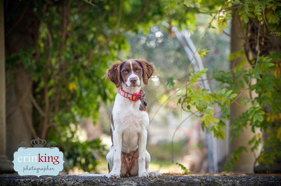 Brittany Spaniel Pet Photography gallery image