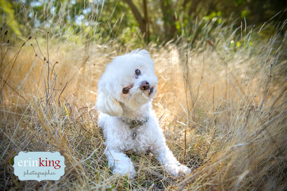 Bichon Frise Pet Photography gallery image