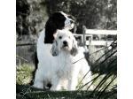 Azucroft & Azudance English Springer Spaniels, Field Spaniels & Petit Basset Griffon Vendeen Breeder - Sydney, NSW