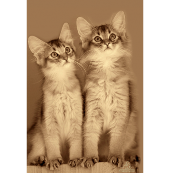 Abyssinian cat breeders in brisbane