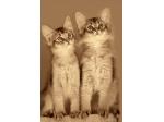 Joylincar  - Somali & Abyssinian Cat Breeder - Perth, Western Australia