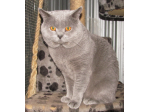 Sixribbons Cats - Scottish Fold & British Shorthair Cat Breeder - Queensland