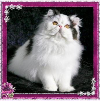 Persian Breeders Australia | Persian Info & kittens