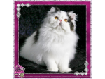 Kenloch Cattery - Exotic Shorthair & Persian Cat Breeder - Sunshine Coast, QLD