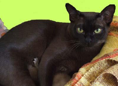 Burmese cats brisbane