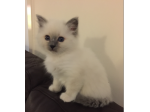Softassilk Birmans - Birman Cat Breeders Aust - Victoria