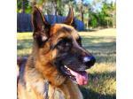 The German Shepherd Rescue Alliance Australia