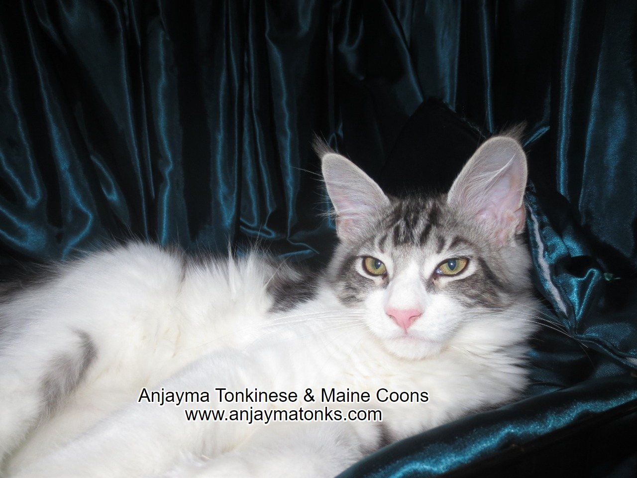 Icecoons Wolfsbane - Silver Classic Tabby & White gallery image