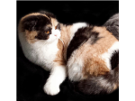 Furreleda - Scottish Fold, Scottish Shorthair & British Shorthair Breeder - Perth, Western Australia