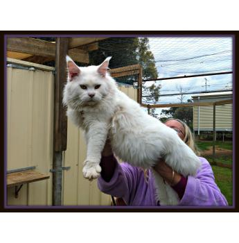 Maine coon kittens for sale in qld