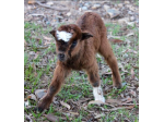 Gruff n Stuff - Miniature Goat Breeder - Brisbane