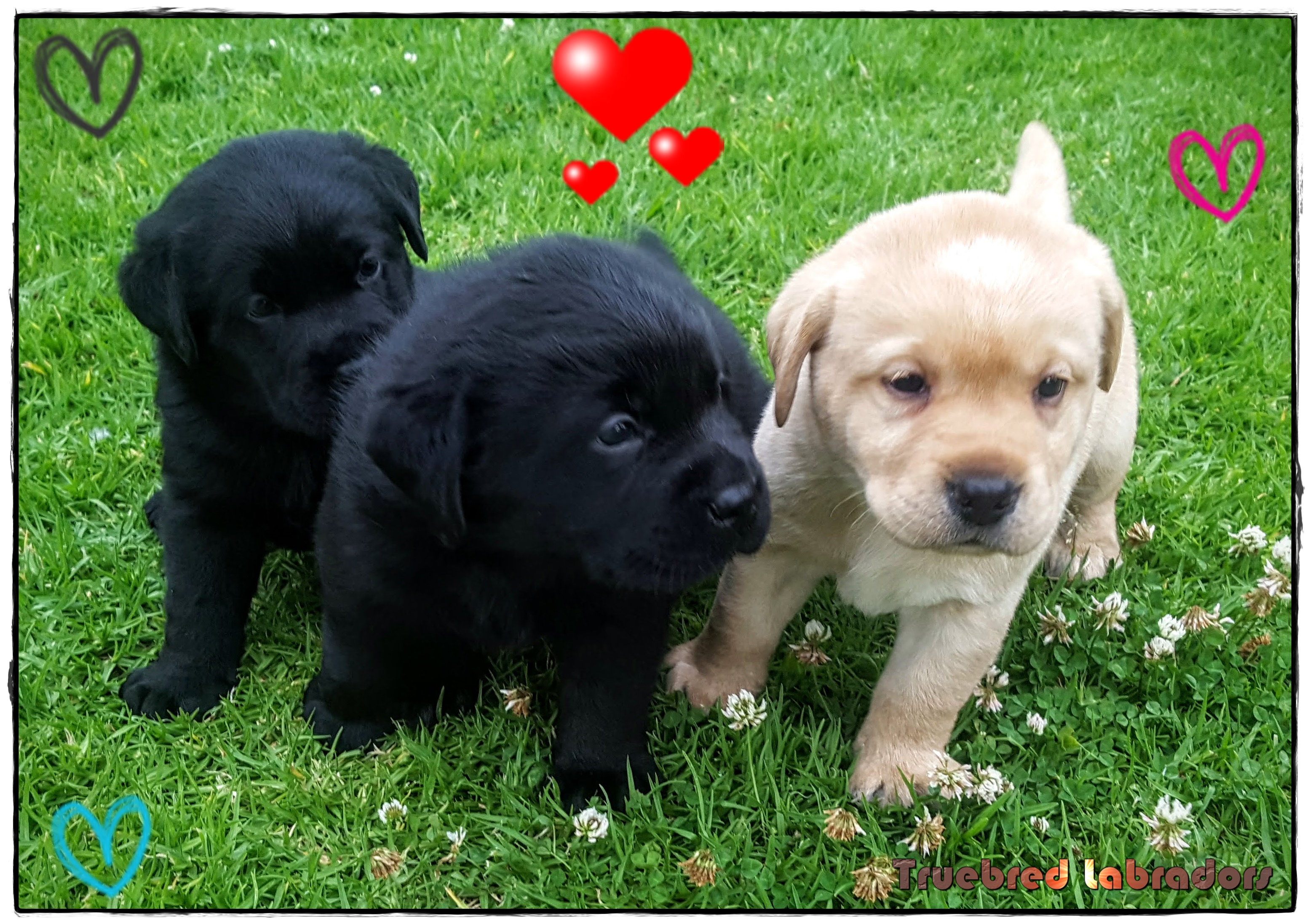 Black and yellow Labrador puppies by Truebred