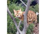 Jabring Bengals - Bengal Cat Breeder - Tasmania