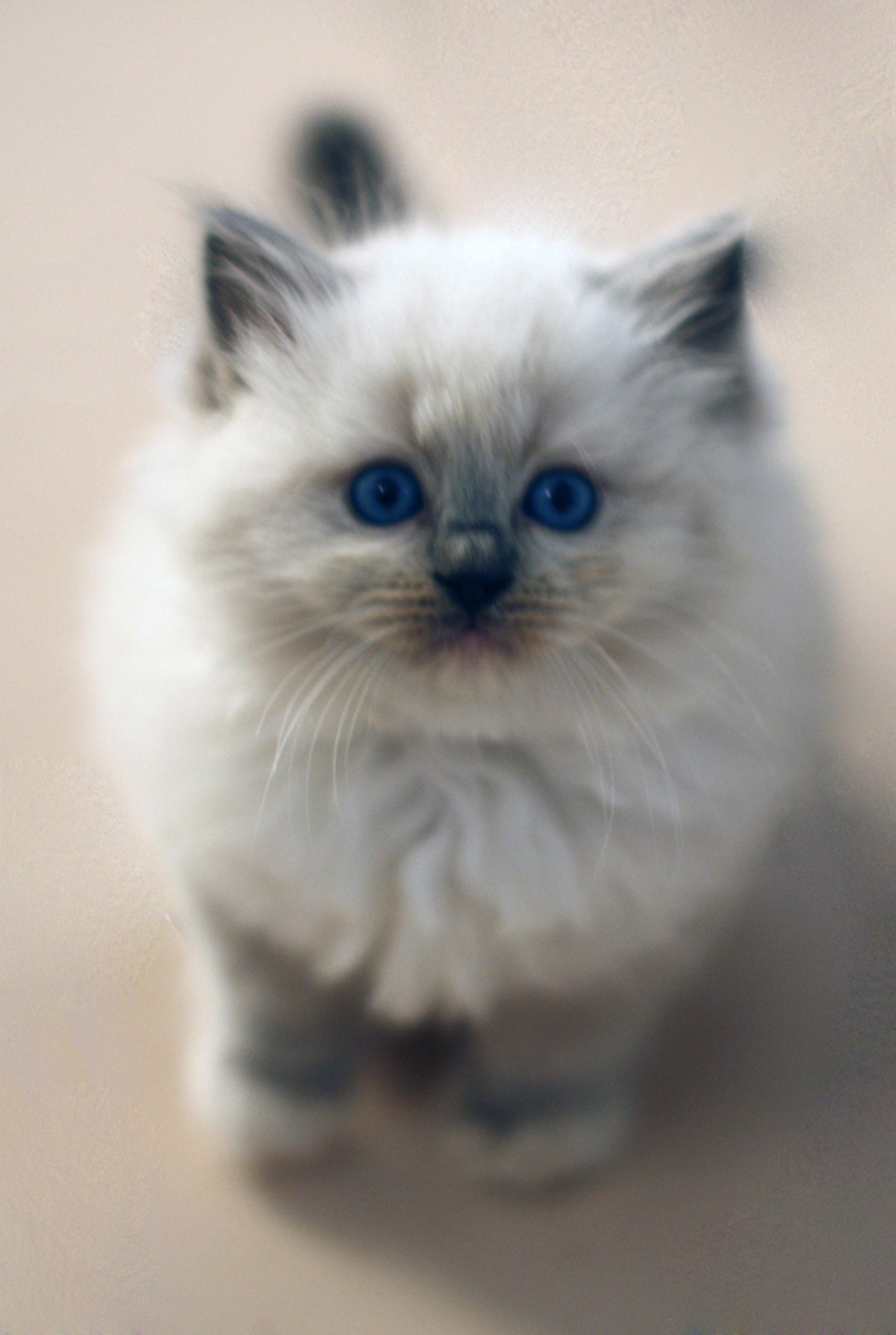Blue Mitted kitten gallery image