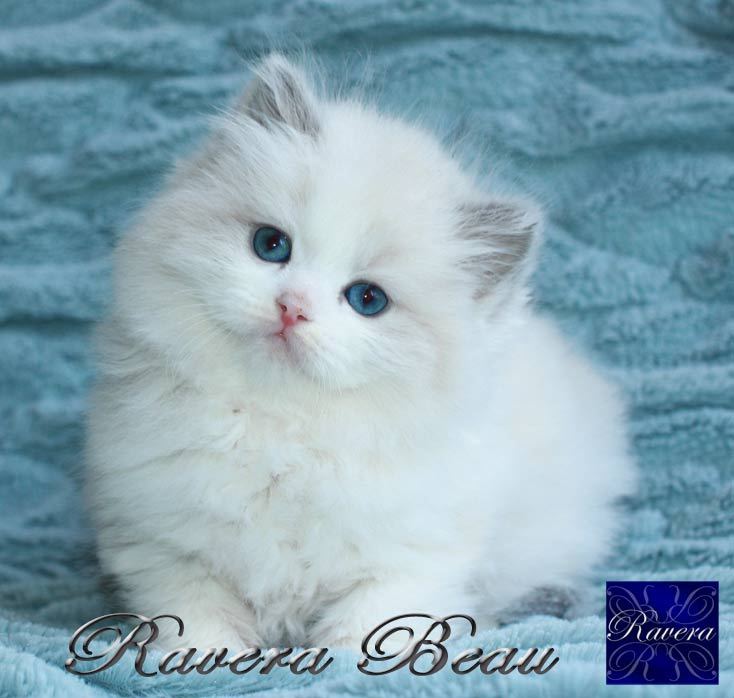 Male Rag Doll Cat For Breeding