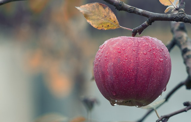An apple from a hobby farm still ripening on the tree