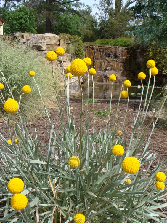 The yellow flowers of a Billy Button