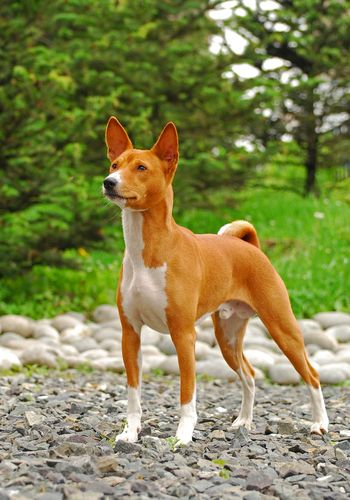 A Basenji stands in a park