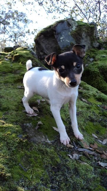 A Toy Fox Terrier