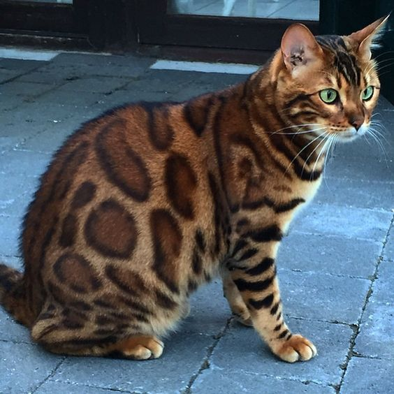 A Bengal cat with distinctive Leopard-print markings