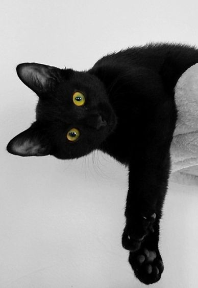 A Bombay cat leans over a pile of towels.